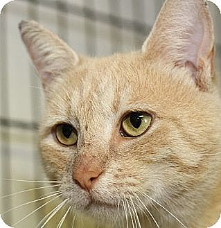 Domestic Shorthair Cat for adoption in Winston-Salem, North Carolina - Bellview