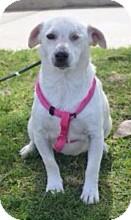 Terrier (Unknown Type, Small)/Labrador Retriever Mix Dog for adoption in Corona, California - BONNIE