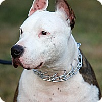 American Staffordshire Terrier/Bull Terrier Mix Dog for adoption in Staten Island, New York - Joey