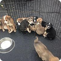 Adopt A Pet :: Puppies - Hamilton, ON