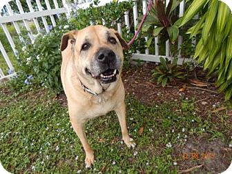 Boxer Mix Dog for adoption in Fort Myers, Florida - Lady