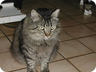 Maine Coon Cat for adoption in Naples, Florida - King