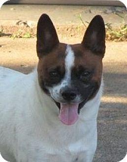 Shiba Inu/Basenji Mix Dog for adoption in Louisiana, Missouri - Curtis