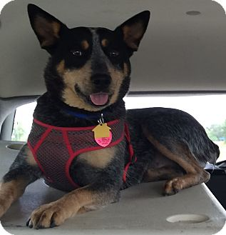 Australian Cattle Dog Dog for adoption in Minneapolis, Minnesota - Roo