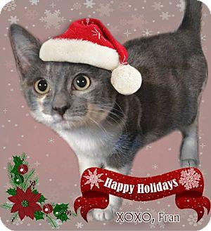 Domestic Shorthair Kitten for adoption in East Brunswick, New Jersey - Fran