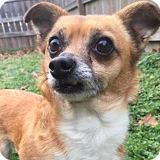 Chihuahua Mix Dog for adoption in Joplin, Missouri - Rocky
