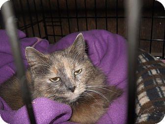 Persian Cat for adoption in Palo Cedro, California - Nipper