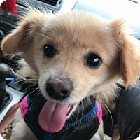 Adopt A Pet :: ATHENA - Sherman Oaks, CA
