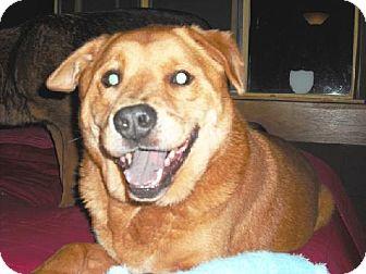 Retriever (Unknown Type)/Shepherd (Unknown Type) Mix Dog for adoption in Rancho Palos Verdes, California - Adonis & Piccachu