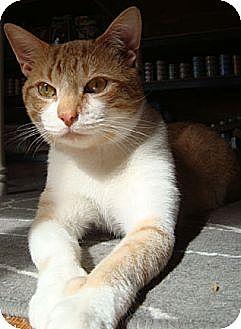 Domestic Shorthair Cat for adoption in Stone Mountain, Georgia - Lucas