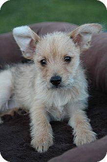 Terrier (Unknown Type, Small)/Schnauzer (Miniature) Mix Puppy for adoption in Yuba City, California - Tigger