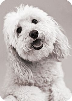 Poodle (Miniature) Dog for adoption in North Palm Beach, Florida - Pepper