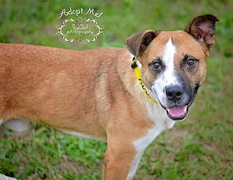 Labrador Retriever Mix Dog for adoption in Fort Valley, Georgia - Dale