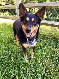 Cattle Dog/Shepherd (Unknown Type) Mix Dog for adoption in Cincinnati, Ohio - Attie