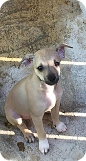 Feist/Chihuahua Mix Puppy for adoption in Charlotte, North Carolina - Jada