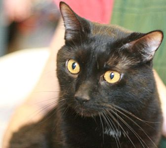 Domestic Shorthair Cat for adoption in Canoga Park, California - Joey