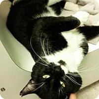 Domestic Shorthair Cat for adoption in Fort Smith, Arkansas - Bonnaroo-FIV