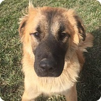 Collie Mix Dog for adoption in Rockville, Maryland - Romeo