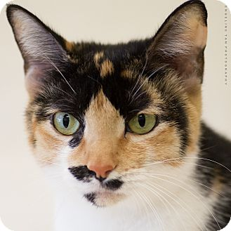Calico Cat for adoption in Houston, Texas - DOLLY