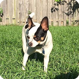 Chihuahua Dog for adoption in Toronto, Ontario - Cav 1730