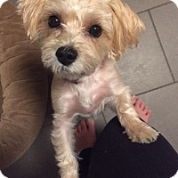 Adopt A Pet :: Lulu - Mississauga, ON