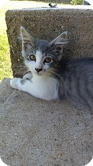 Domestic Longhair Kitten for adoption in Kennedale, Texas - Hope