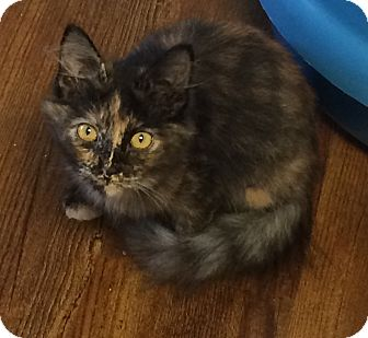 Domestic Mediumhair Kitten for adoption in Greensburg, Pennsylvania - Sheena
