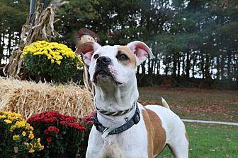 Labrador Retriever Mix Dog for adoption in Brookhaven, New York - Autumn