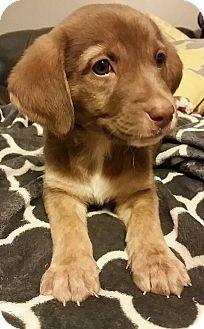 Labrador Retriever/Shepherd (Unknown Type) Mix Puppy for adoption in Battleboro, Vermont - Marshall