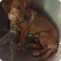 Adopt A Pet :: Dancer - Las Vegas, NV