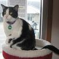 Domestic Shorthair Cat for adoption in Powell, Ohio - Fenton