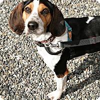 Foxhound Mix Dog for adoption in Bellingham, Washington - Marmee