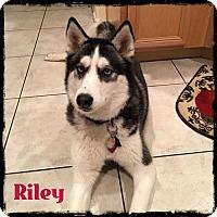 Adopt A Pet :: Riley - Surprise, AZ