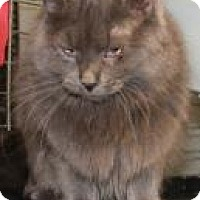 Domestic Longhair Cat for adoption in Yukon, Oklahoma - Glenda/Violet
