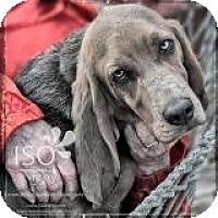 Adopt A Pet :: Mr. Peabody - Barrington, IL