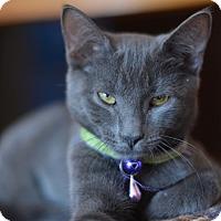 Adopt A Pet :: Nashe - Brooklyn, NY
