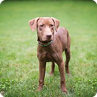Adopt A Pet :: Henry - Lewisville, IN