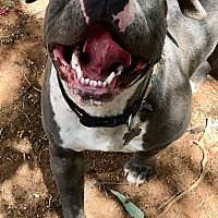 Adopt A Pet :: BELLA - Valley Village, CA