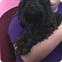 Standard Schnauzer Mix Dog for adoption in Martinsburg, West Virginia - Midnight