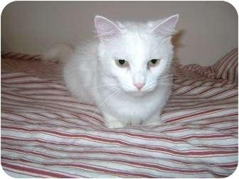 Domestic Longhair Cat for adoption in Etobicoke, Ontario - Snowie
