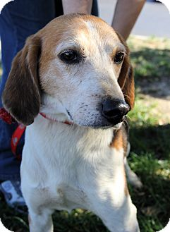 Beagle Mix Dog for adoption in Richmond, Virginia - Marty