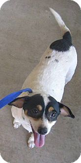 Terrier (Unknown Type, Medium)/Chihuahua Mix Dog for adoption in Stilwell, Oklahoma - Tina