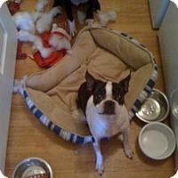 Adopt A Pet :: Boston - Hancock, MI