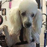 Adopt A Pet :: Chavez - Phoenix, AZ