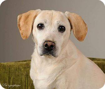 Labrador Retriever/Beagle Mix Dog for adoption in Henderson, Nevada - Artie