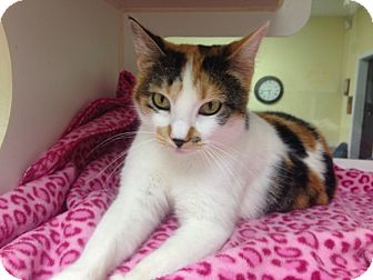 Calico Cat for adoption in Poteau, Oklahoma - HOLLY