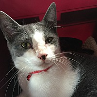 Domestic Shorthair Cat for adoption in Valley Stream, New York - Parsnip