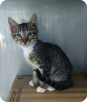 Domestic Shorthair Kitten for adoption in Powellsville, North Carolina - ANNIE
