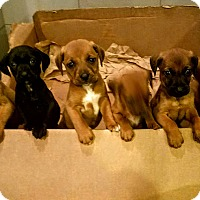 Adopt A Pet :: Hound pups!*ADOPTED! - Chicago, IL