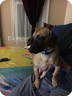 Basset Hound/Shepherd (Unknown Type) Mix Puppy for adoption in Marlton, New Jersey - Alex